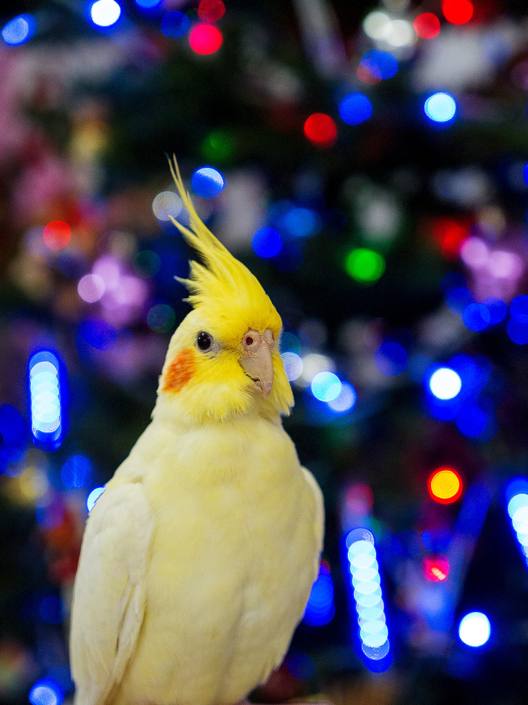 Cassie the Cockatiel in front of the Christmas Tree